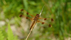Painted Skimmer (Libellula semifasciata) Dragonfly - Male Perching 2 Stock Footage