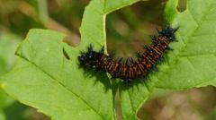 Baltimore Checkerspot (Euphydryas phaeton) - Caterpillar Feeding 2 Stock Footage