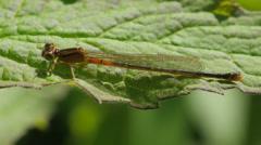 Eastern Forktail (Ischnura hastata) Damselfly - Immature Female 2 Stock Footage
