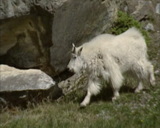 Rocky Mountain goat (Oreamnos americanus) moves across slope - tracking shot Stock Footage