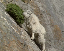 Mountain goat (Oreamnos americanus) on a steep rock face, eating from shrub Stock Footage