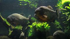 Red-Bellied Piranha in Aquarium Stock Footage