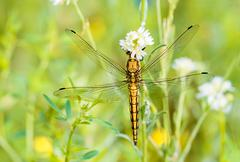 yellow dragonfly - stock photo