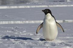 Stock Photo of adelie penguin which stands on an ice floe near the crack