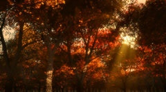 Autumn forest at sunset 002 HD Stock Footage