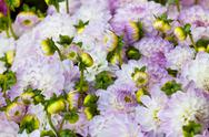 Stock Photo of beautiful dahlias flowers close up background