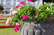 Stock Photo of bright heranium flowers in ancient stone pot