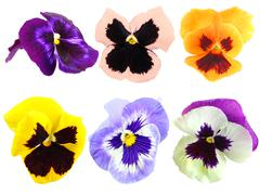 set of motley pansy flowers - stock photo