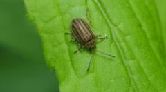 4K Leaf Beetle (Ophraella conferta) 1 Stock Footage