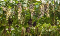 bunch of red grapes in the vineyard. - stock photo