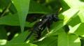 4K Elm Sawfly (Cimbex americana) - Female 1 Footage