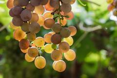 Bunch of red grapes in the vineyard. Stock Photos