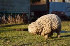 Greyface Dartmoor sheep with thick curly fleece - stock photo