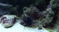 Sea Urchin Diadema sp with striped spines Footage