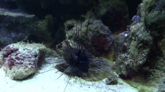 Sea Urchin Diadema sp with striped spines Stock Footage