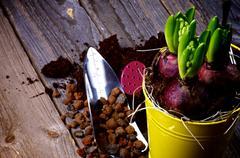 Planting Hyacinth Bulbs - stock photo