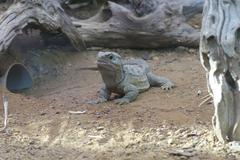 a northern tuatara - sphenodon punctatus - ancient reptile - stock photo