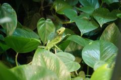 A cone-headed lizard amongst leaves - laemanctus longipes Stock Photos