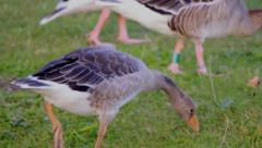 Geese in the park - Snack Time Stock Footage