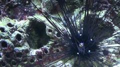 Sea Urchin Diadema sp close up Stock Footage