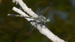 Unicorn Clubtail (Arigomphus villosipes) Dragonfly - Male 4 Stock Footage