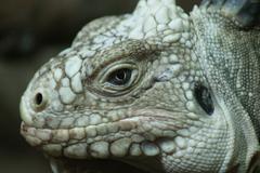 a lesser antilles iguana - iguana delicatissima - stock photo