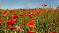 Filed with poppy flowers in blossoms. Very hot day, plants have wilt leaves Stock Footage
