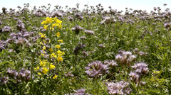 Purple Tansy field in countryside in hot summer day. Green blue purple flowers Stock Footage