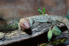 northern caiman lizard on tree - dracaena guianensis - stock photo