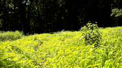 A hot afternoon in a glade, wilted plants with bent light green leaves. Stock Footage