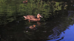 Another Family of Ducks Stock Footage