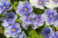 blue pansies (viola) - stock photo