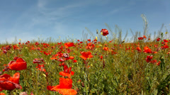 Filed with many poppy flowers in blossoms. Hot day, plants have wilt leaves Stock Footage
