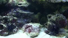 2 Sea Urchins Diadema sp Stock Footage