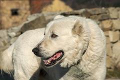 Big white guard dog - stock photo