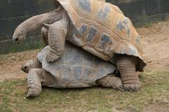 a mating pair of aldabra giant tortoise - aldabrachelys gigantea - stock photo