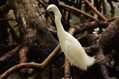 Snowy Egret (Egretta thula), Rosario Archipelago, Cartagena de Indias, Colombia, - stock photo