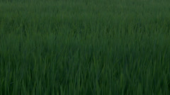 Dancing grass in Yilan - very close Stock Footage