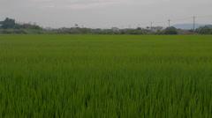 Dancing grass in Yilan - closer Stock Footage