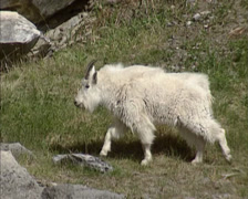 Rocky Mountain goat (Oreamnos americanus) in Jasper NP - tracking shot - stock footage