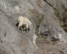 Mountain Goat kid (Oreamnos americanus) descends a steep slope - tracking shot - stock footage