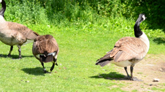 Geese on the lawn Stock Footage