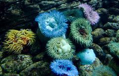 Anemone colony Stock Photos