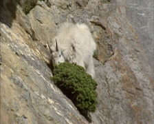 Rocky Mountain goat (Oreamnos americanus) on a steep rock wall, eating Stock Footage