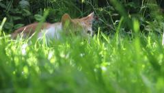 Cat lies in the grass then pounces Stock Footage