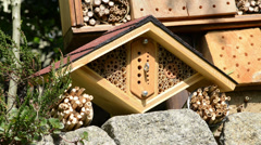 Wild bee Osmia Bicornis Stock Footage