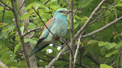 European roller sitting on a branch on tree over the nest. Stock Footage