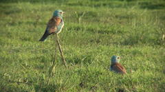 European roller sitting on a branch in spring pasture. Stock Footage