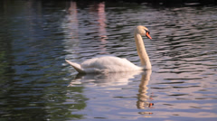 A Swan Swimming Stock Footage