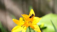 Bee on Yellow Star-of-Bethlehem (Gágea lútea). Stock Footage